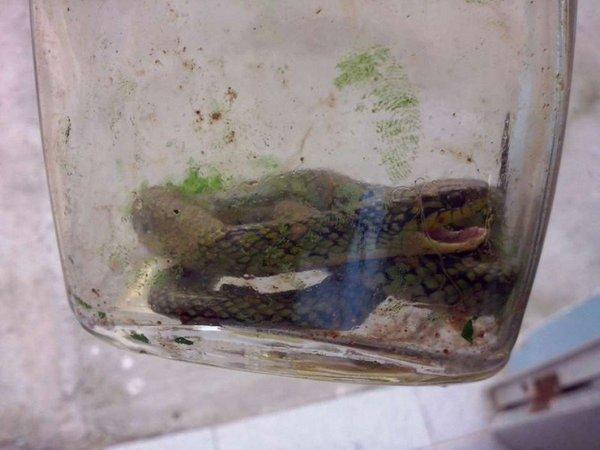 Con rắn được cho vào chai để mang tới bác sĩ xem đó là loại rắn gì.