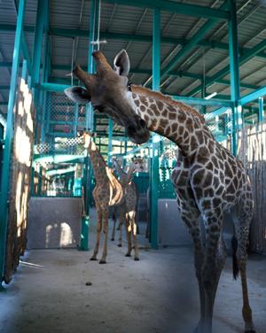 Động vật được đưa về hệ thống chuồng tạm đạt tiêu chuẩn quốc tế