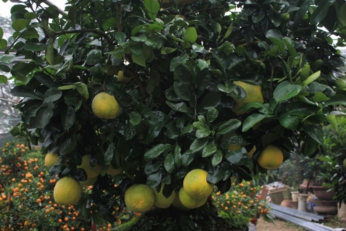 Từ nhiều năm nay, cây bưởi được trồng trong 1 chậu đất nhỏ.