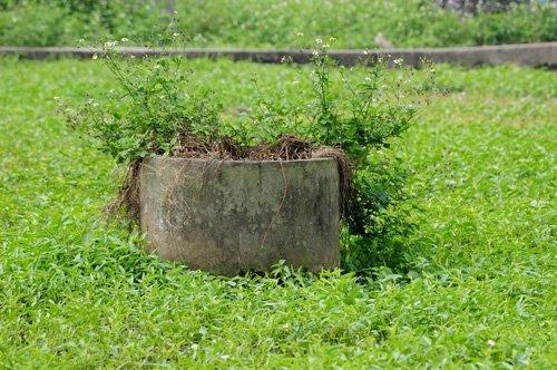 Nhiều người sẽ cảm thấy rùng mình khi biết rau muống trong các bữa ăn hàng ngày được trồng ngay gần mộ của người đã khuất.