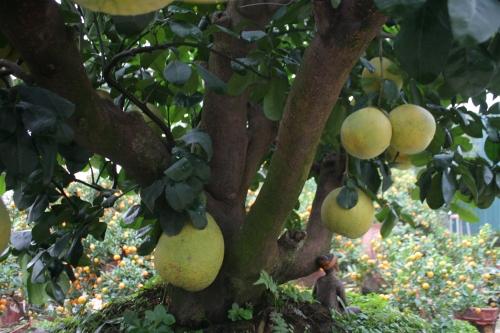 Thế ngũ phúc của cây bưởi được cho thuê với giá 50 triệu đồng.