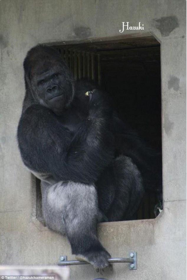 Chú khỉ đột Shabani hiện đang sống trong vườn thú Higashiyama ở thành phố Nagoya của Nhật Bản.