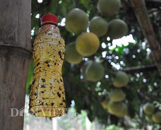 Thay vì dùng thuốc trừ sâu để phun, ông Hùng thường tận dụng các loại chai, lọ bỏ điđể bắt sâu, bọ cho cây bưởi.