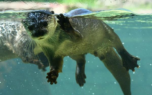 Một cá thể rái cá có thể lặn dưới nước trong vòng 4 phút, lặn sâu tới gần 100m chỉ để kiếm thức ăn.