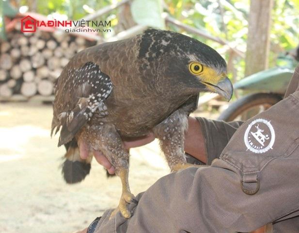 Con chim đại bàng 2 năm tuổi, rất quý mến chủ nhân