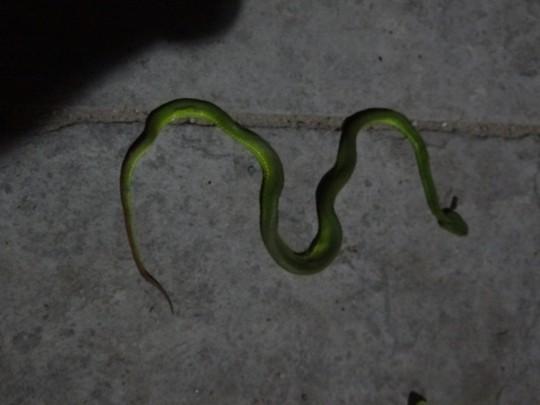 Một con rắn được người dân chụp lại ở quận 12, TP HCM. Ảnh: CTV