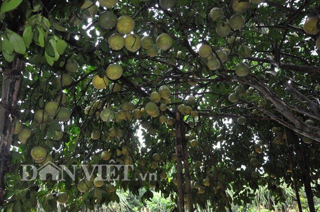 Nhìn qua, cây bưởi có quả nhiều hơn lá.