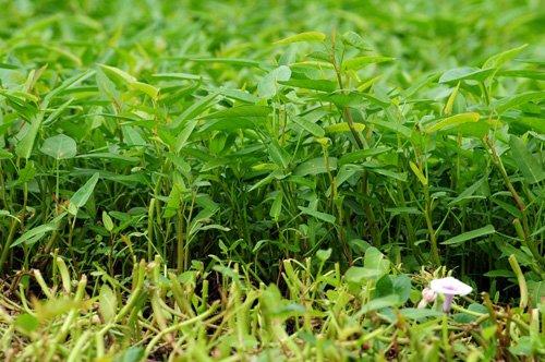 Những ruộng rau muống trồng gần các ngôi mộ xanh mơn mởn.