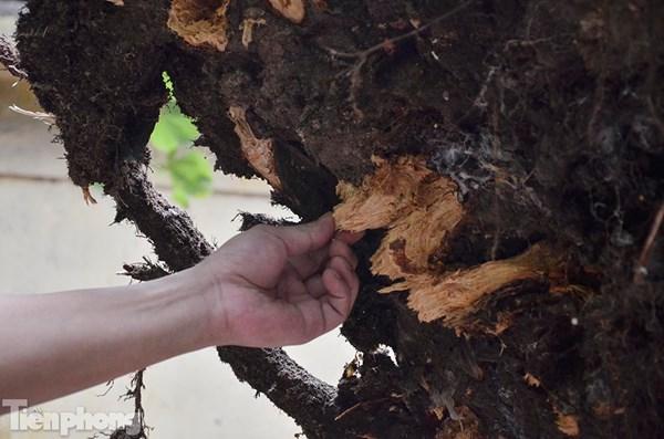 Rễ cây bị mục. Ảnh: Tiền Phong