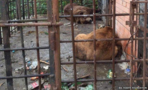 Hình ảnh tội nghiệp của hai chú gấu