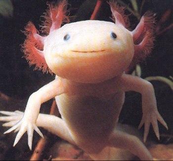 Ảnh: axolotls. com.