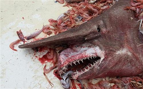 Cá mập yêu tinh được phát hiện ở bờ biển Key West