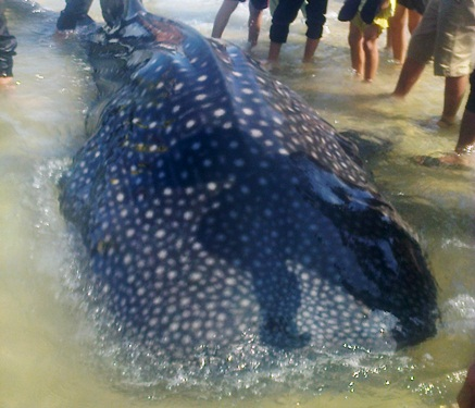 Con cá nặng 3 tạ rưỡi mắc lưới ngư dân Chu Văn Thủy. Ảnh: Đất việt