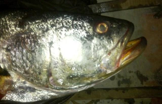 Cá sủ đất (Nibea diacanthus) là loài cá biển quý hiếm. Cá có màu đen trên lưng, miệng rộng, thân thon dài. Thức ăn của cá thay đổi theo từng độ tuổi của cá. Lúc nhỏ, cá ăn các loại ấu trùng hàu, nguyên sinh động vật, lớn lên chúng ăn tôm cá nhỏ. (Ảnh: VOV Giao thông)