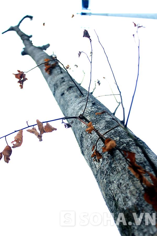 Cây nhỏ chết, cây to cũng... không sống