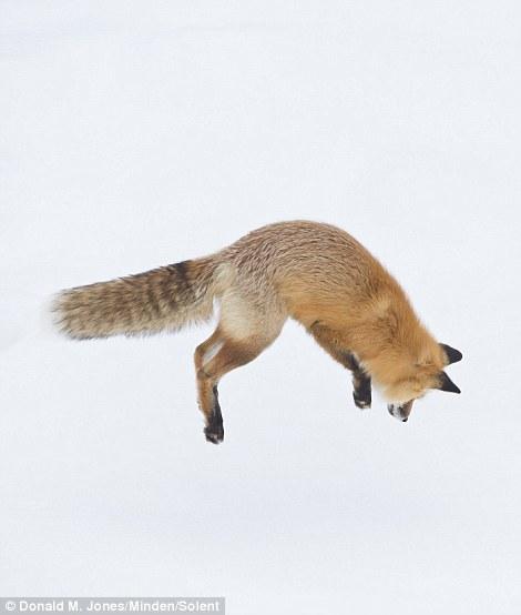 Con cáo đổ nhảy lên cao để lấy đà trước khi cắm đầu xuống tuyết