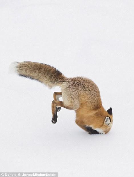 Con cáo cắm đầu xuống tuyết trắng để đào bới tìm con mồi