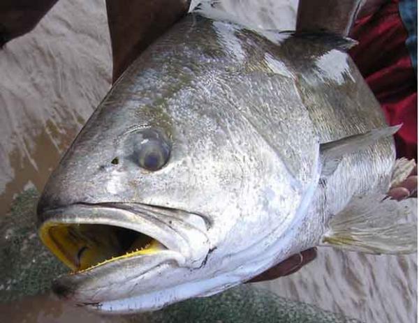 Phần đầu của cá sủ vàng. (Ảnh: Đại Đoàn Kết)