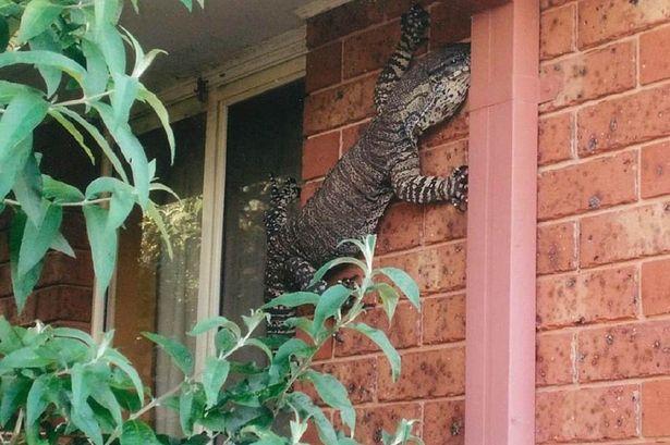 Con thằn lằn leo cây khổng lồ trên tường nhà ông Holland.