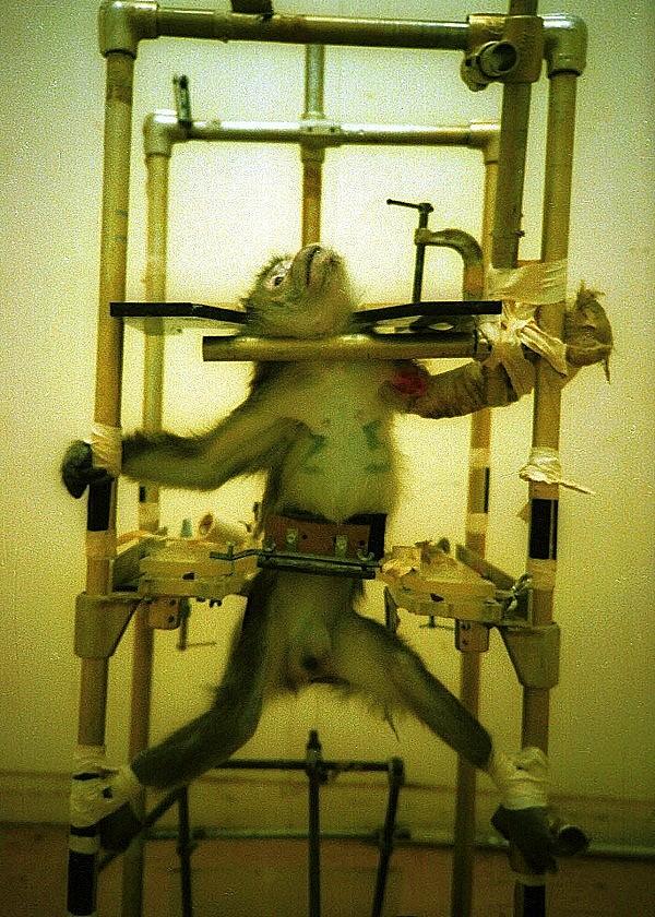 Chú khỉ đáng thương bị đem ra làm vật thí nghiệm