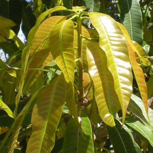 Xoài là loại cây có dược tính rất cao. Ngay cả lá xoài cũng có thể dùng làm vị thuốc trị tiểu đường cực tốt.
