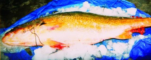 Cá sủ vàng xuất hiện ở cửa sông châu thổ sông Hồng và Cửu Long, tuy nhiên hiện nay đã gần như tuyệt chủng.
