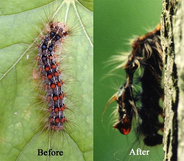 Sau khi trèo lên đến ngọn cây, sâu bướm sẽ chết và cơ thể chúng hóa lỏng, rò rỉ những virus sát thủ lên các sâu bướm khác bên dưới.