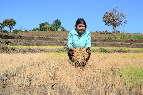 Lúa của người dân biến thành rơm do thiếu nước. Ảnh: Quỳnh Anh/Báo Thanh tra
