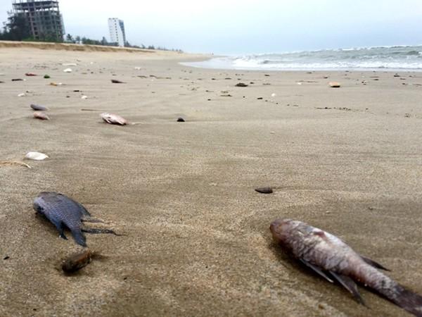 Cá chết trôi dạt vào bờ dọc bờ biển Nhật Lệ. Ảnh: LÊ PHI LONG/Lao động