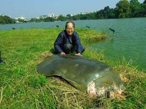 PGS.TS Hà Đình Đức trong một lần tiếp cận, chăm sóc cụ Rùa hồ Gươm