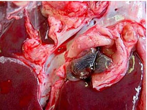 Hình ảnh sán lá gan lớn trong gan bò. (Ảnh Nimpe)
