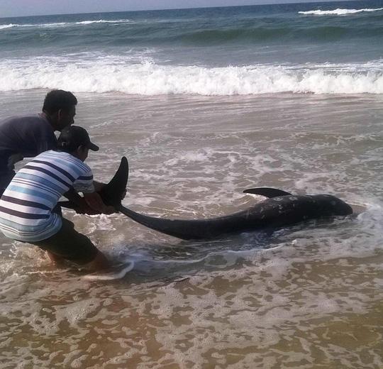 Cá voi vừa chết bất thường trôi vào biển Thừa Thiên- Huế