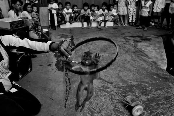 Thêm một cư dân khỉ làng Kampung Cipinang Besar đang biểu diễn ở một làng khác trong khu vực thành phố Jakarta.