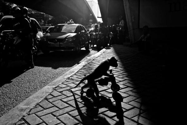 Khỉ đạp xe cũng là một trong những trò biểu diễn thường xuyên được sử dụng để lôi kéo khách du lịch.