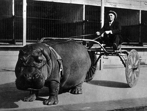 Xe kéo bằng hà mã. Ảnh chụp năm 1924