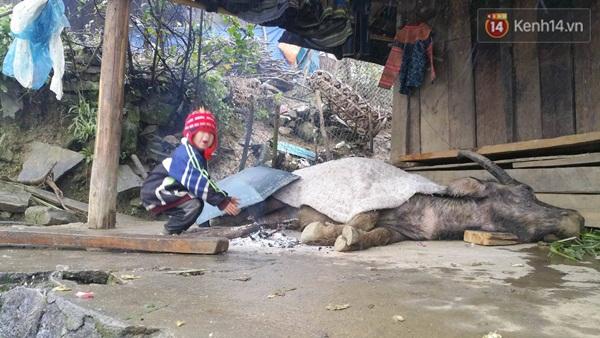 Trâu tại Sa Pa bị chết do quá lạnh. Ảnh: Xuân Hoàng/Kênh 14