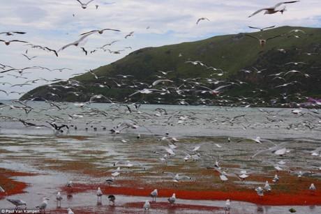 Tôm hùm đỏ dạt vào bờ và bị mắc kẹt trở thành nguồn thức ăn cho những loài chim, đặc biệt là loài hải âu.