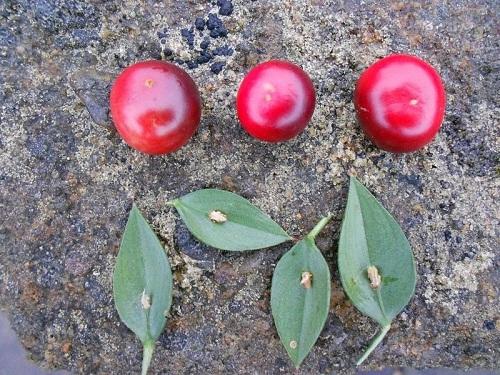 Qủa Broom Butcher có màu đỏ mọng khi chín.