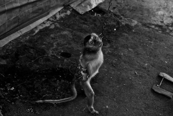 Đây là cách để người ta huấn luyện cho loài linh trưởng này biết đứng và di chuyển bằng hai chân.