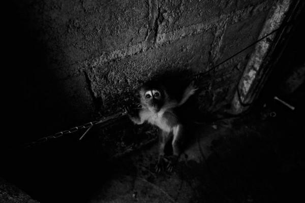 Tuy nhiên không phải con khỉ nào được huấn luyện cũng được chủ nhân đưa ra trình diễn. Nhiều hộ gia đình chỉ huấn luyện, sau đó đem bán, hoặc cho thuê lũ khỉ làm công cụ kiếm tiền cho người có nhu cầu.