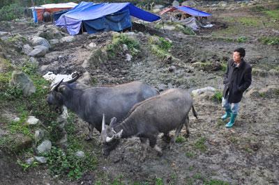 Thời tiết bắt đầu nắng ấm, bà con xã Sa Pả, huyện Sa Pa (Lào Cai) đưa trâu từ nơi tránh trú rét ở xã Trung Chải về nhà