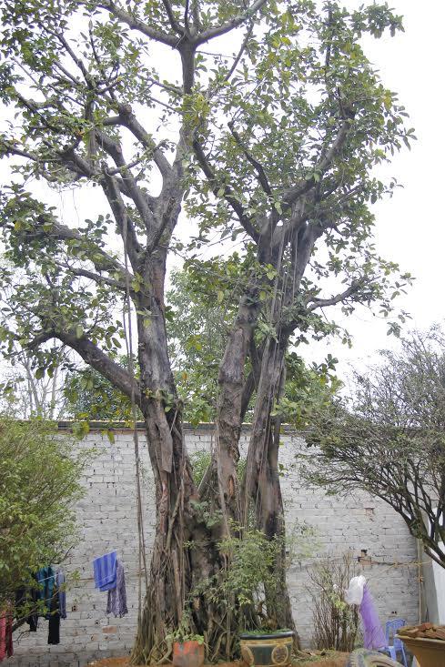 Có những cây bóng mát cổ thụ cao bằng cả căn nhà 3 tầng với tuổi thọ lên đến hàng trăm năm