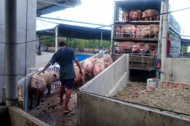 Heo ở huyện Thống Nhất, Đồng Nai được lùa lên xe đưa qua Trung Quốc tiêu thụ - Ảnh: A Lộc