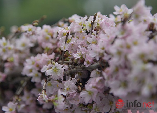 Trước đó, Ban tổ chức không gian giao lưu đã cho biết, sẽ có 10.000 cành hoa anh đào được sử dụng trong ngày hội giao lưu này.