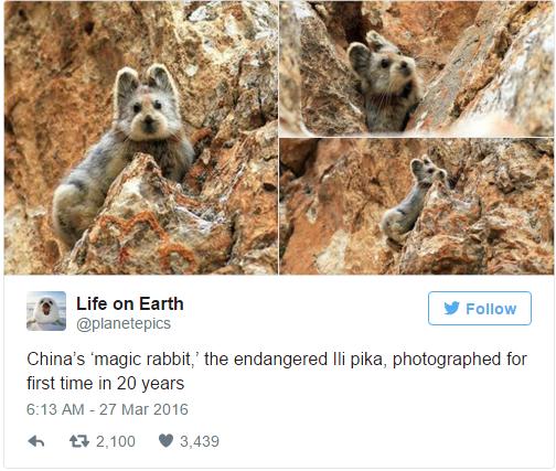 Tuy nhiên, Ili Pika đang đứng trước nguy cơ tuyệt chủng với số lượng cá thể còn rất ít trong tự nhiên