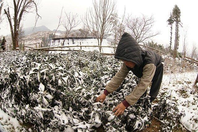 Em bé người Mông đang tranh thủ rũ tuyết ra khỏi cây hoa phong lan. Ảnh: Dân trí
