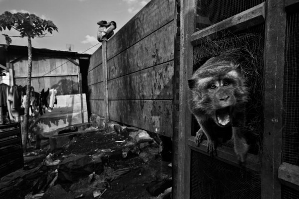 Một con khỉ đang gào thét trong cũi, ảnh chụp ngày 15/06/2010.