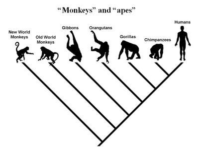Khỉ là họ hàng, không phải tổ tiên của con người