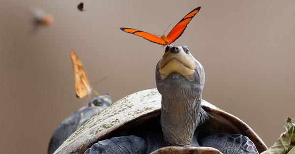 Nạn nhân phải hứng chịu sự tự nhiên của loài bướm thường là rùa