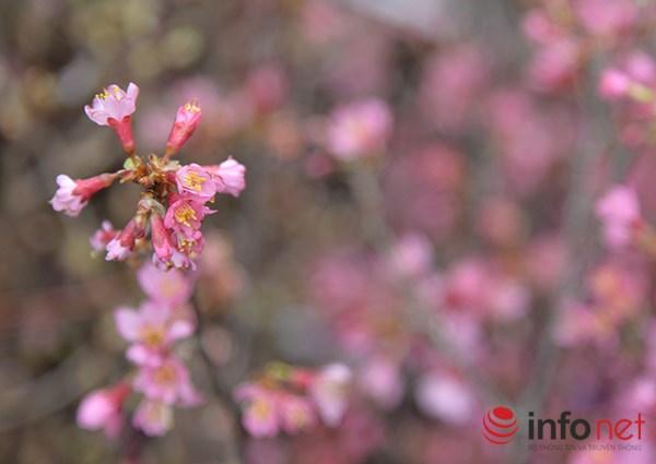 Những cành hoa anh đào được nhập về từ đất nước Mặt trời mọc và được bảo quản rất kỹ trong các thùng giấy.